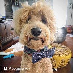 This is Professor Ramen the Goldendoodle from Austin TX. He was named after Ramen noodles because up until just about one month ago his chest was so uber fluffy like a bowl of noodles. He loves all other dogs all kinds of humans (especially kids) peanut butter jerky snow disney and bully sticks. In that order  #thriftypup #bowtie #dogbowtie #dogsinbowties  #bowtiesarecool #bowtiesforpets #dogaccessories #dogfashion #upcycled #handmade #fancydogs #dapperdog #stylishdog #dog #dogstagram…