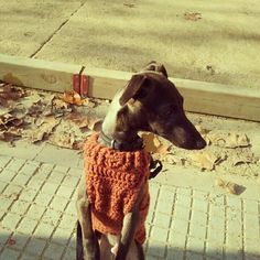 Dobby (italian greyhound)