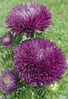 De plant komt van oorsprong uit China en Korea. Хризантема, Цветовые Палитры, Комнатные Растения, Красивые Цветы, Фиолетовый, Природа, Сады, Растения