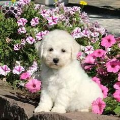Bich-poo Puppy in New Holland, PA Free Crochet Rose Pattern, Greenfield Puppies, Bichon Frise, Puppies For Sale, Poodle, Holland, Labrador Retriever, Dogs, Animals