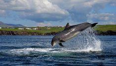 A Dolphin Has Been Living Solo in This Irish Harbor for Decades Named Fungie, the cetacean draws thousands of tourists to Dingle—and may teach us how to protect other solitary-sociable animals in the wild Emerald Isle Ireland, Irish Free State, Erin Go Bragh, Lighthouse Keeper, Old Pub, Bottlenose Dolphin, Travel Magazines, Killer Whales, Sea World