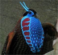 Temminck's Tragopan Pheasant. (Found on Tumblr)