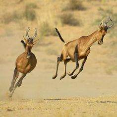 The red hartebeest, which once roamed in large herds from Zimbabwe southward, is now almost extinct.