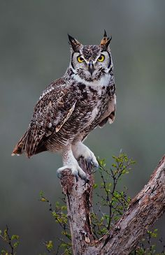 The Great Horned Owl - Bubo virginianus, is a large owl native to the Americas. It is an adaptable bird with a vast range and is the most widely distributed true owl in the Americas. Beautiful Owl, Animals Beautiful, Cute Animals, Owl Photos, Owl Pictures, Owl Bird, Pet Birds, Photo Animaliere, Great Horned Owl