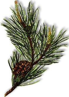 Advanced Embroidery Designs - Pine Cone