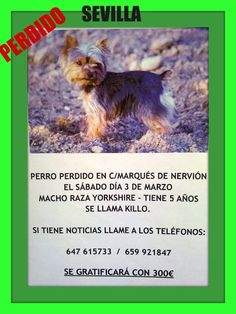 Yorkshire (macho)- Tiene 5 años se llama Killo perdido en la c/Marques de Nervión(Sevilla)