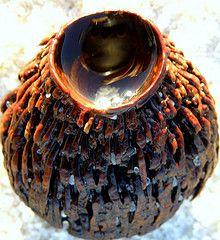 Australia kelp seaweed seed pod