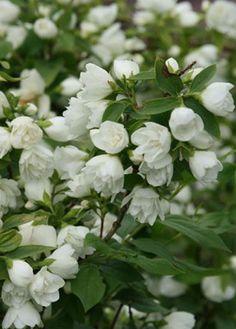 Philadelphus Manteau d'Hermine (boerenjasmijn), heerlijke geur van bloemen, trekt vogels aan