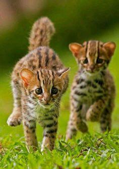 Greyhound tiger cats.