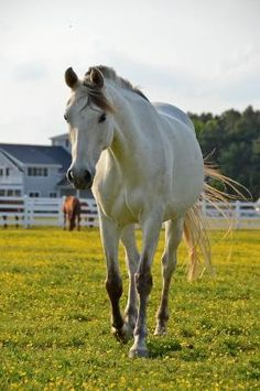 Buttermilk Buckskin Horse by lswmiki