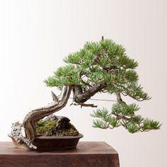 Ryan Neil Limber Pine