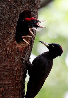 A black woodpecker takes care of some newly hatched chicks in Cheolwon-gun, South Korea. The plumage of this crow-sized woodpecker is entirely black apart from a red crown.  Photograph: JEON HEON-KYUN/EPA