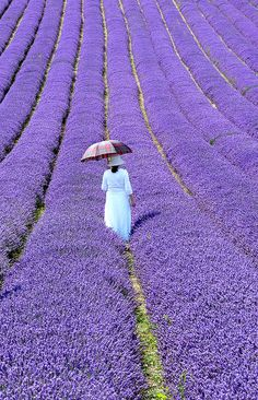 Lavender Walk, Sussex, England