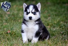 Champ – Siberian Husky Puppies for Sale in PA | Keystone Puppies
