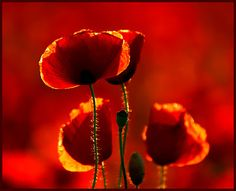Red Poppies - Macro Nature Wallpapers and Images Red Poppies, Red Flowers, Beautiful Flowers, Sunflowers, Beautiful Gardens, Rumi Love Quotes, French Nursery, Jolie Photo, My Favorite Color