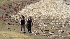 Il genocidio di calamari giganti in Cile che nessuno si è preoccupato di farvi vedere.VIDEO SHOCK http://jedasupport.altervista.org/blog/cronaca/esteri/genocidio-di-calamari-giganti-in-cile/