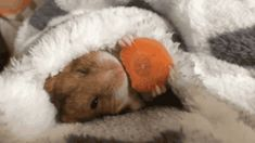 Sometimes you need a hamster, eating a carrot, wrapped in a blanket...