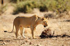 African Animals Q