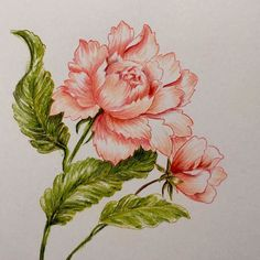 I'm in love with these pencils. #polychromospencils  #altenew #peony #bristolpaper by skidoomomma