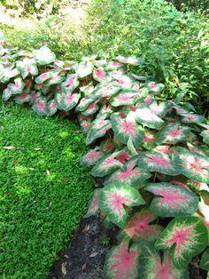 'Rosebud' caladium- beautiful garden edging!