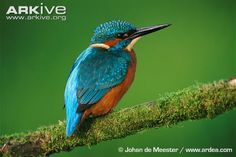 kingfisher - Google Search