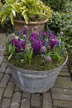 purple spring bulbs in galvanized bucket