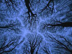 Looking Up into Leafless Canopy Showing Crown Shyness, Blue Hour, Jasmund National Park, Germany Impressão fotográfica por Christian Ziegler/Minden Pictures na AllPosters.com.br