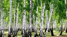 Birch Forest HD 1080p Wallpapers Download