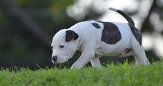 american staffordshire terrier puppy 4k ultra hd wallpaper