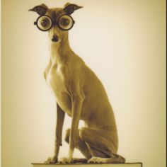 Haha this makes me smile! I love Italian greyhounds x
