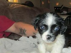 Amy March is an adoptable Shih Tzu Dog in Brooklyn, NY. Little Women! Feisty furballs Meg, Jo, Beth, and Amy March are playful little ladies that were born in early February of 2013. Badass helped an ...