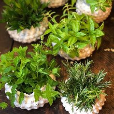 Sweet little greenery centerpieces for rehearsal dinner this evening! Basil, verbena, rosemary, olive branches, mint and myrtle are in the mix!