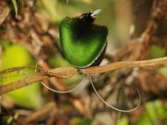 Surucuá e Tristezas do Jeca, vai vendo: Show da natureza - Aves-do-paraíso (Paradise birds)