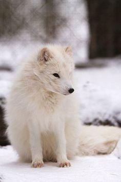 terra-canzone: Artic fox da © Wolfgang Holtmeier 2010