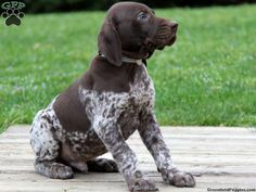 Cory, german shorthaired pointer puppy for sale from Gordonville, PA