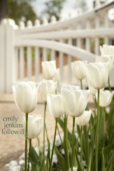 White tulips in the garden.
