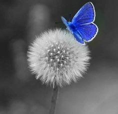 diente de leon con mariposa azul que se ausenta