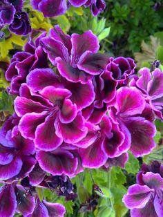 beautiful purple flowers photo: beautiful purple flowers This photo was uploaded by helen_onesteptoolate