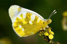 #makro #kelebek #closeup #butterfly #photo #photography #bestpic #walpaper #foto #natgeo #macro #erbaa #tokat #papillon #kelebekler #special #natural #canon #550d #animal #nationalgeographic