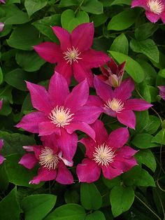 Advice on everything gardening Clematis Trellis, Flower Trellis, Garden Trellis, Amazing Flowers, Colorful Flowers, Beautiful Flowers, Flowers Nature, Wild Flowers, Garden In The Woods