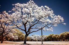 Jacaranda Tree IR by lrargerich, via Flickr Cornwall Garden, Albizia Julibrissin, Christmas In Australia, Lds Youth, Street Trees, Tree Images, Moon Garden, Shade Trees, Girls Camp