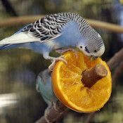 Can parakeets eat this? Find out what parakeets can and can not eat. Ranging from apples oranges bananas carrots grapes and other fruit. Parakeet Food, Parakeet Care, Budgie Parakeet, Budgie Toys, Budgies Care, Cockatiel, Cute Birds, Pretty Birds, Beautiful Birds