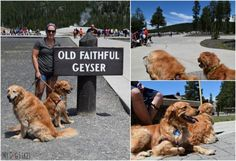Dogs are allowed at Old Faithful all the way up to this sign!