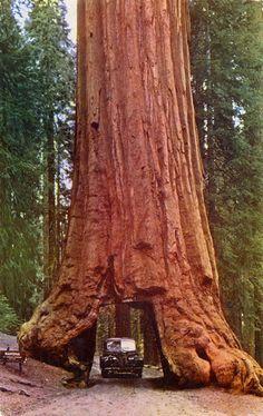Wawona Tree in Yosemite National Park near Wawona, California (fell in 1969) • photo of 1953 postcard via AlamedaInfo