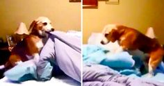 Beagle Makes A 'Comfort Nest' Using The Blankets Every Night Before Bed Funny Animal Videos, Funny Animals, Cute Animals, Dog Salon, Retriever Puppy, All Things Cute, Cute Gif, Animal Welfare, Little Dogs