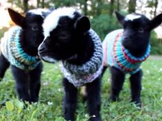 They're three week old Nigerian Dwarf Goats, and according to the videos…