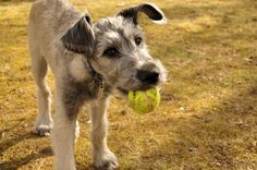 Branagáin, irish wolfhound, 16 weeks old. Big Dogs, I Love Dogs, Cute Dogs, Dogs And Puppies, Funny Dogs, Irish Wolfhound Puppies, Irish Wolfhounds, Dog Raincoat, Dog Photos