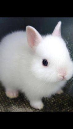 Dwarf white rabbit