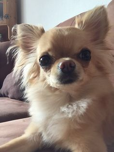 Chihuahua, Corgi, Ice, Animals, Corgis, Animales, Animaux, Animal, Ice Cream