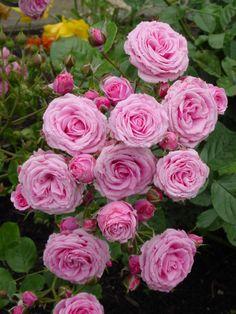 Vintage Gardens pink rosette